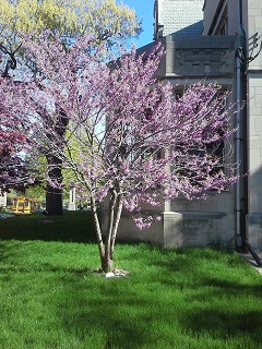 Redbud Tree at BLIND Inc.